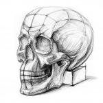 Линейно-конструктивный анализ черепа. Карандаш. Автор: Кияница Андрей